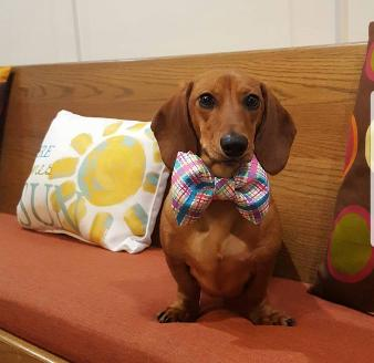 Phat Dachshunds Miniature Dachshund Breeders In Middle Tennessee